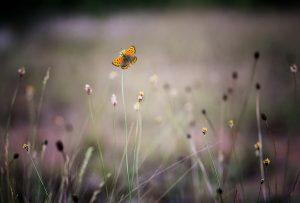 Buttlerfly meadow