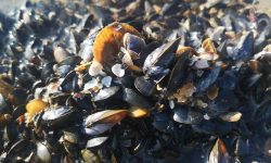 Mussel close up